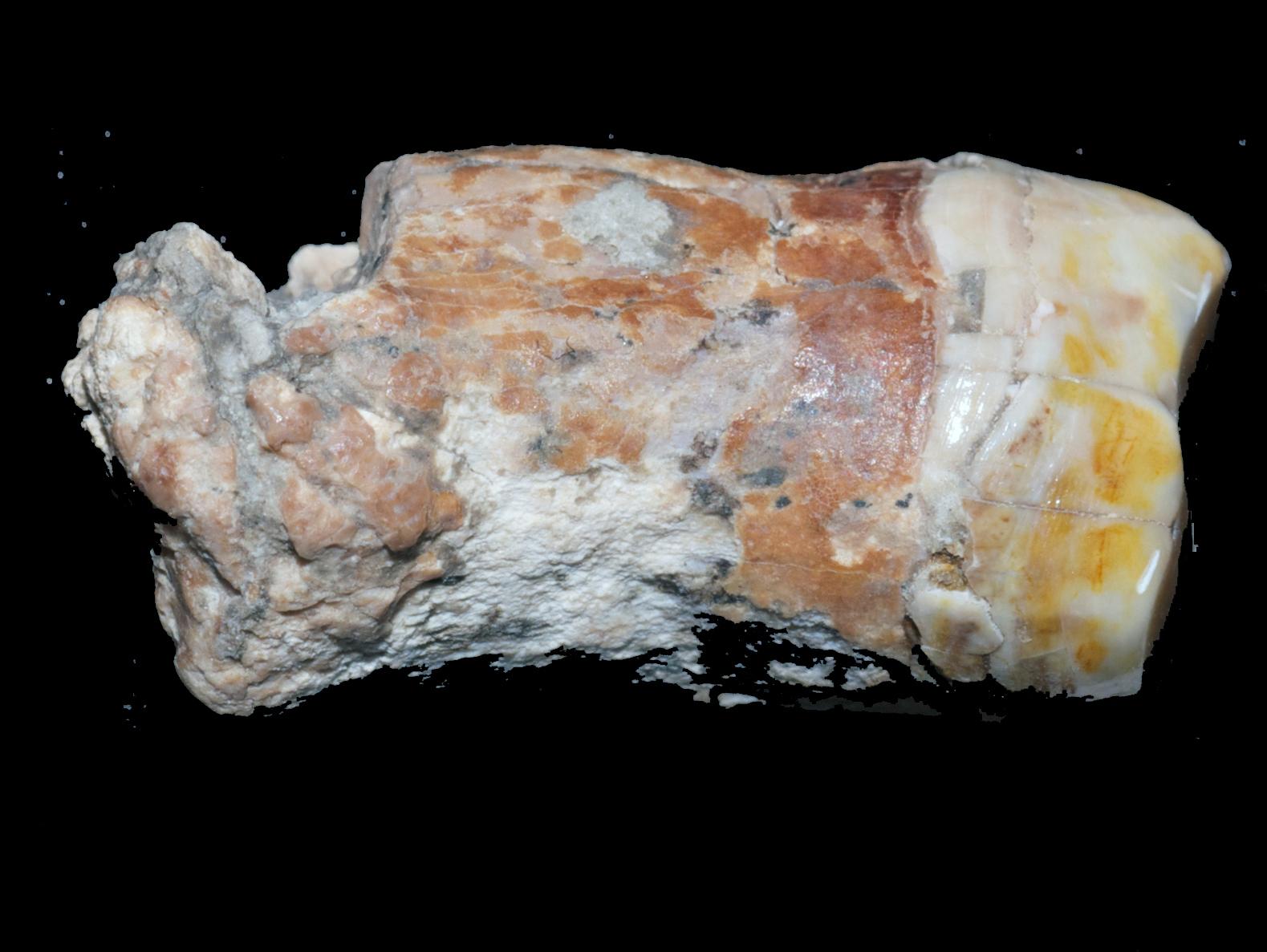 שן שהתגלתה בעין קשיש. על פי הפרהיסטוריונים, מדובר בשן של אדם נאנדרנטלי