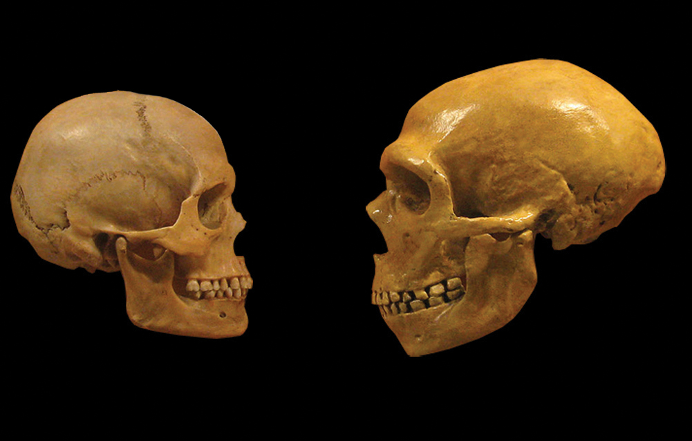 Find the Difference: The skulls of Neanderthal man, right, and Homo sapiens sapiens, left