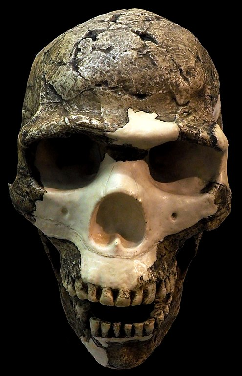 Cast of reconstructed homo sapiens skull from the Es-skul cave
