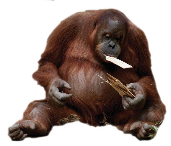 Orangutan eating matza at the Ramat Gan Safari