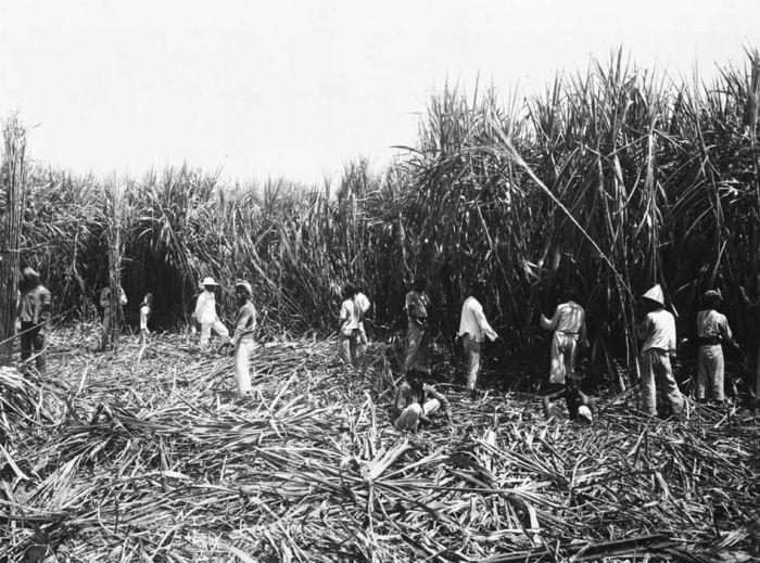 קוצרים קנים ביאווה, תחילת המאה ה-20