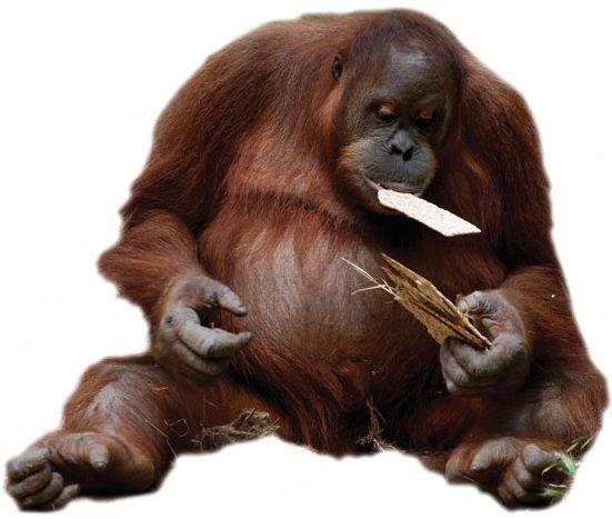 אורנגאוטן אוכל מצות בספארי ברמת גן