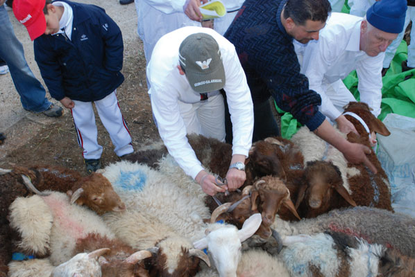 Lambs are selected and herded to the sacrificial trench, where they are slaughtered