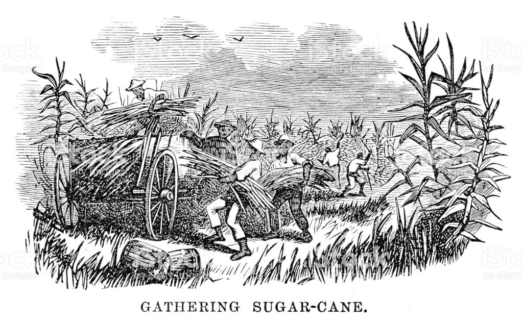 ייצור הסוכר דרש כוח עבודה רב. פועלים שהובאו מאפריקה קוטלים קנים