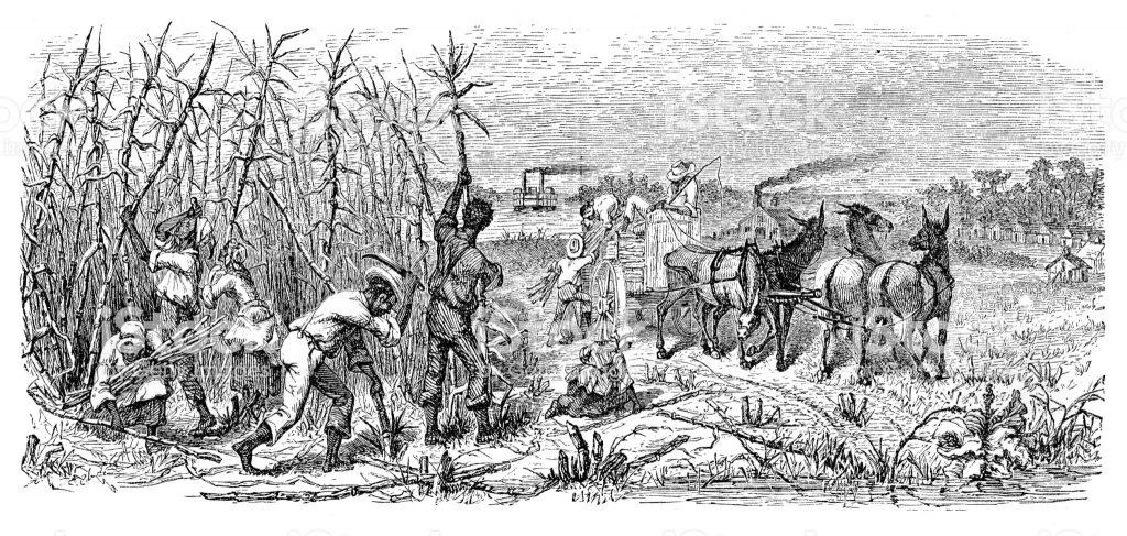 הגידול החקלאי של קנה הסוכר החל כבר לפני כ-9,000 שנה בגינאה החדשה. שדות קנה הסוכר, תחריט עץ, ארצות הברית, 1871